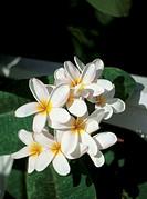 Close-up of Plumeria flowers (Frangipani), Key West, Florida, USA
