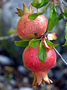 Pomegranates on tree