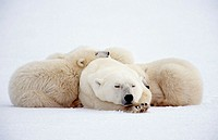 Polar bear sleeping with two ten months old cubs (Ursus maritimus). Churchill, Manitoba, Canada