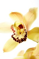 Yellow orchid, close-up