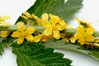 Agrimony eupatoria - medicinal plant: Medical functions: stops bleeding, cardiotonic effect,inhibits Gram-Positive Bacteria, rids of tape wormsActions...