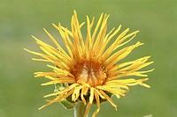 Blossom of Elecampane, medicinal plant, herb, Inula helenium.