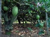 agriculture, cedars