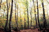 Beechwood (Fagus sylvatica). Fageda d´en Jorda. Catalonia. Spain