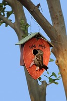 nesting, sparrows, love nest, love, romance, romantic, nature, backyard, birdhouse, birds