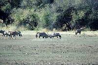 Gemsboks fighting, Africa