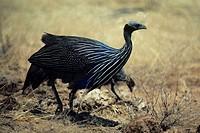 Vulturine guinea fowl, Africa