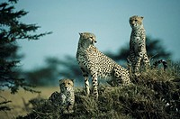 Cheetah trio skylined on hill