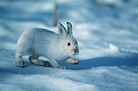 Varying hare snowshoe rabbit on open snow, North America