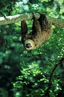 Hoffman´s two-toed sloth, Central or South America