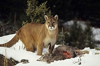 Cougar with mule deer kill in snow, Montana, USA