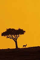 Thomson´s gazelle silhouetted at dawn, Kenya, Africa