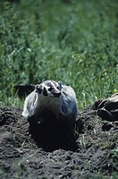 Badger on soil with grass background, vertical view, USA