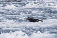 Harbor seal on glacier, North America