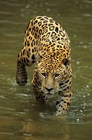 Jaguar (Panthera onca) walking through water, Brazil