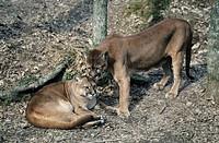 Pair of cougars, Montana, USA
