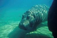 Hippopotamus (Hippopotamus amphibus), underwater
