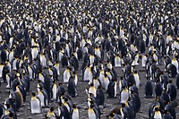 King penguins (Aptenodytes patagonicus), South Georgia Islands