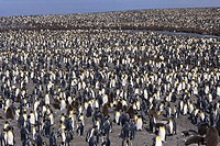 Colony of king penguins (Aptenodytes patagonicus) at St. Andrews Bay, South Georgia, Island