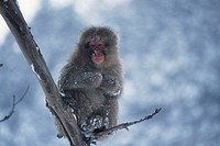 Japanese snow monkey (Macaca fuscata) on tree limb, Japan, Asia