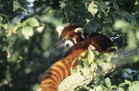 Red or lesser panda (Ailurus fulgens), China, Asia