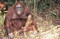 Borneo orangutan (Pongo pygmaeus) mother with young, Borneo, Southeast Asia