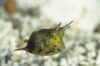 Cowfish (Lactoria cornuta), tropical reef fish, Indo-Pacific