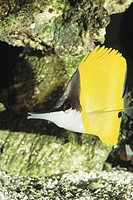 Longnose butterflyfish (Forcipiger flavissimus), tropical reef fish, Indo-Pacific