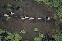 Burchell´s zebras (Equus burchelli) walking through water, Kenya, Africa, (Aerial view)