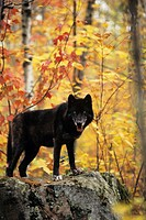 Black wolf (Canis lupus) on rock with Autumn color, Canada