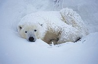 Polar bear (Ursus maritimus) laying covered in snow, Canada