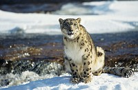 Snow leopard (Unica uncia) sitting