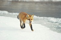Red fox (Vulpes vulpes) runnning through snow, Minnesota, USA