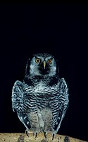 Hawk owl, front view, North America