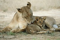 Lioness (Panthera leo) gromming cub