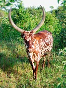 A typical long horn cow in Nakasongola District in central Uganda