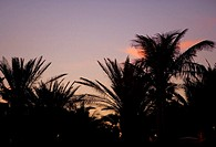 Silhouette of palm trees, Miami, Florida, USA