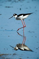Black-Necked Stilt. Himantopus mexicanus. Everglades N.P. Florida, USA