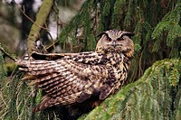 Eagle Owl. Bubo bubo. Hamburg, Germany