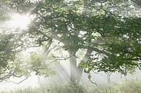 England, Somerset, sunlight streaming through branches  in woodland