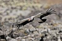 King Vulture (Sarcoramphus papa). Venezuela.