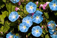 Morning Glory (Ipomoea grandiflora)