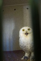Snowy owl in captivity, recovering from an injury at the World Bird Sanctuary in St. Louis, MO. USA