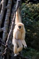 White-handed gibbon (Hylobates lar).