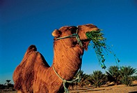 Tunisia, Dromedary indesert