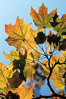 Maple leaves (thumbnail)