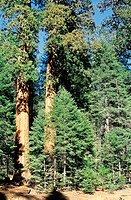 Etats-Unis, Californie, Sequoia National Park (thumbnail)