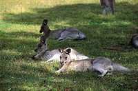 Australia, kangaroos in the Blue mountains