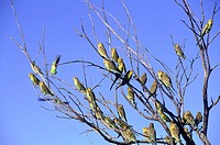Australia, Northern territories, birds near Alice Springs