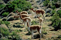 Chile, Altiplano, vicunas